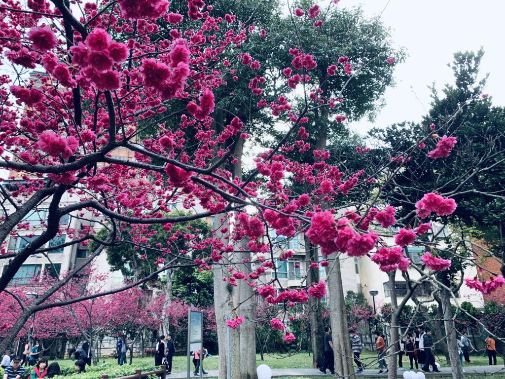 莒光公園賞櫻